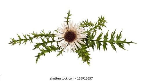 Stemless carline Thistle flower (Carlina acaulis)