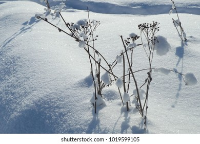 stems of grass on a snow field