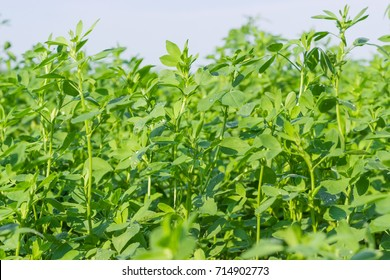 Stems with leaves of the young alfalfa covered with dew drops on field closeup in summer morning