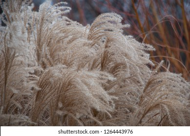 Stems of miscanthus sinensis in the wind