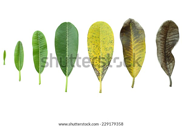 step concept of plant leaves growing in germination sequence isolated in white background.