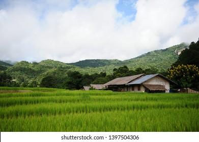 step rice terraced in thai