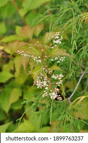 Stephanandra tanakae grows and blooms in the garden in summer