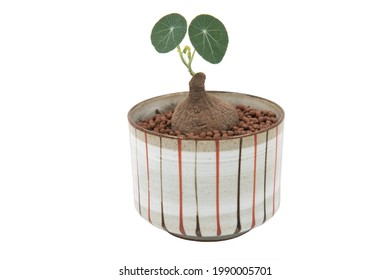 Stephania Erecta in ceramic pot with isolated white background.