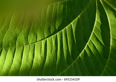 Stephania venosa Spreng., Green heart-shaped leaves on a natural background.