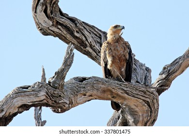 A Steppe Buzzard (Buteo vulpinus) sitting on a dead tree somewhere in Krueger National Park, South Africa.
