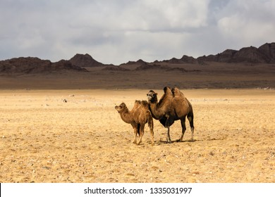 Steppe camels in the foothills of Western Mongolia