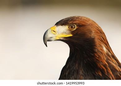 Steppe Eagle, Aquila nipalensis, detail of head