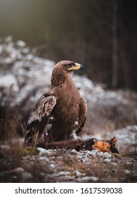 Steppe eagle (Aquila nipalensis) with hunted marten by river. Steppe eagle portrait.