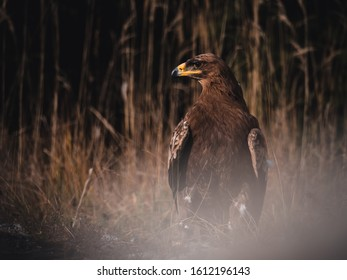 Steppe eagle (Aquila nipalensis) on rock by river. Steppe eagle portrait. Dry grass in background.