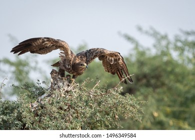 Steppe eagle or Aquila nipalensis portrait with wings open about to fly from green tree trunk at thar desert national park, jaisalmer, rajasthan, India