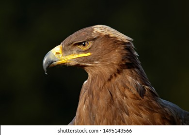 Steppe Eagle, Aquila nipalensis, sitting on the meadow, forest in background. Wildlife scene from nature. Detail head portrait of eagle. Bird in the dark forest.