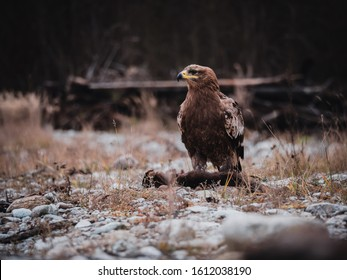Steppe eagle (Aquila nipalensis) sitting on hunted marten by river. Steppe eagle portrait. Steppe eagle with hunted marten.