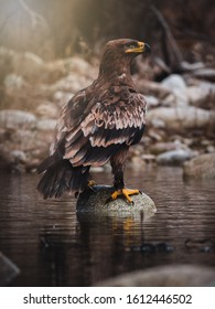 Steppe eagle (Aquila nipalensis) sitting on rock in river. Rock background. Steppe eagle portrait.