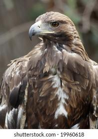 Steppe eagle head. Narrow depth of field.