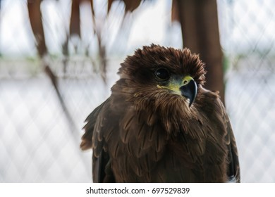 Steppe Eagle looks at the victim.