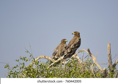 Steppe Eagle pair from a dump-yard in Gujarat