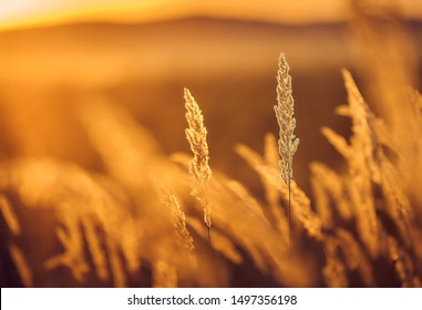 Steppe Grass in Sunset Light