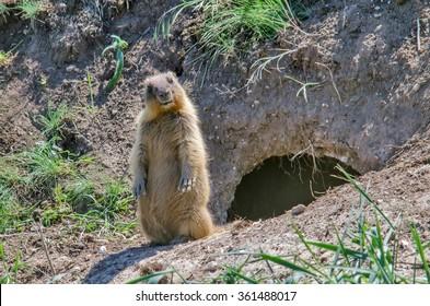 Steppe marmot - Marmota bobak