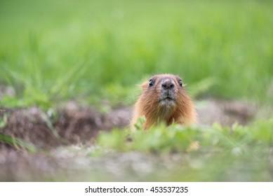 Steppe marmot (Marmota bobak)