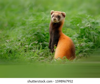 Steppe Polecat foraging in the steppe