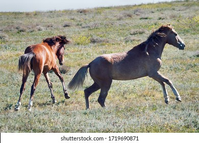 Steppe Tatar horses with traditionally clipped tails. Playing young mares. Crimea, August steppe