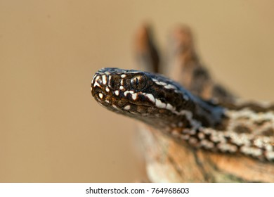 Steppe Viper (Vipera ursinii) poisonous snake, close up