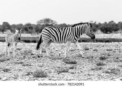 Steppenzebra (quus quagga) mit Fohlen, Etosha Nationalpark, Namibia, Plains Zebra (quus quagga) with foal, Etosha National Park, Namibia