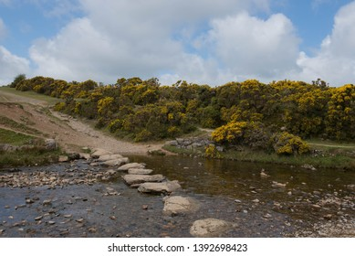 Stepping Stones over the River Lyd with Spring Flowering Gorse in the Background (Ulex europaeus) by Brat Tor within Dartmoor National Park in Rural Devon, England, UK