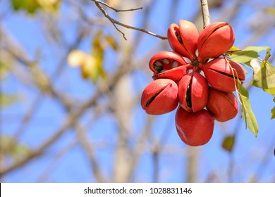 Sterculia foetida (Bastard poom, Pinari) ; A unique mature fruits, dark red. The shell of some fruits that peel off reveal internal seeds.Hanging down from high tree.