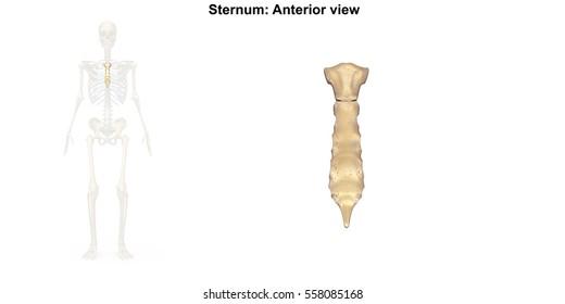 Sternum Images Stock Photos Vectors Shutterstock