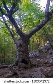Steven Maple Tree - endemic to Ai-Petri National Park (Crimea, Russia). Famous tourist attraction named 'Master of Ai-Petri'
