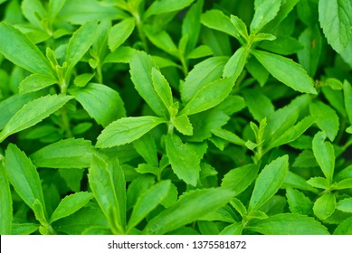 Stevia leaves (selective focus; detailed close-up shot)