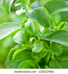 Stevia plant leaves close up