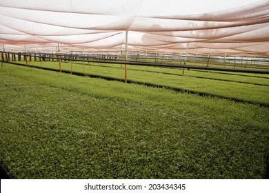 stevia plantation to industrial use