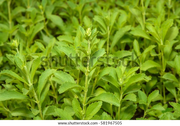 Stevia, Stevia Rebaudiana Bertoni, Stevia Rebaudiana, Stevia (Genus, Asteraceae, Eupatorieae) and have Stevioside (Steviol glycosides) extracted from its leaves