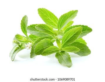Stevia rebaudiana on white background
