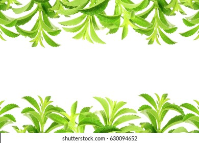 stevia rebaudiana sugar substitute herbs leaves in pure white background with text copy space