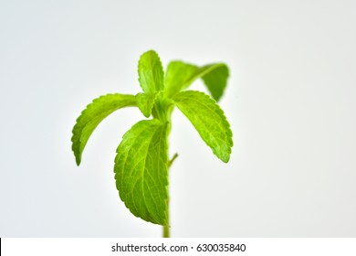 Stevia young plant with green leaves on a white background