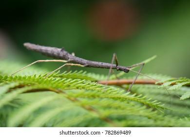 stick insect, Panama