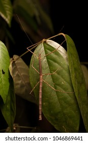 Stick insect Phasmatodea in forest on Sumatra in night