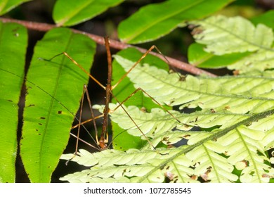 Stick Insect (Phasmid) eating a fern leaf in the rainforest understory, Morona Santiago province, Ecuador