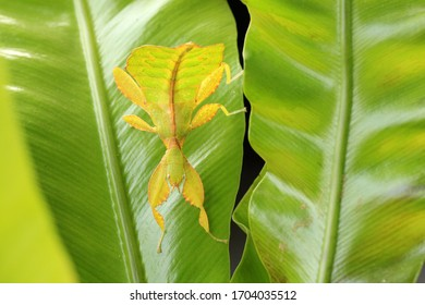 The stick insect Phyllium tobeloense on the green leaves
