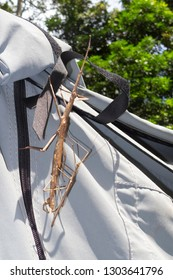Stick Insects mating on tent canvas near Kuranda in Tropical North Queensland, Australia