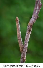 Stick-mimic geometrid moth larva (inchworm) using thin line of silk to suspend itself from a twig.