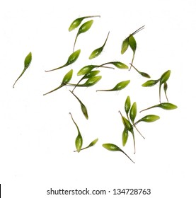 The sticky seeds from Geum urbanum