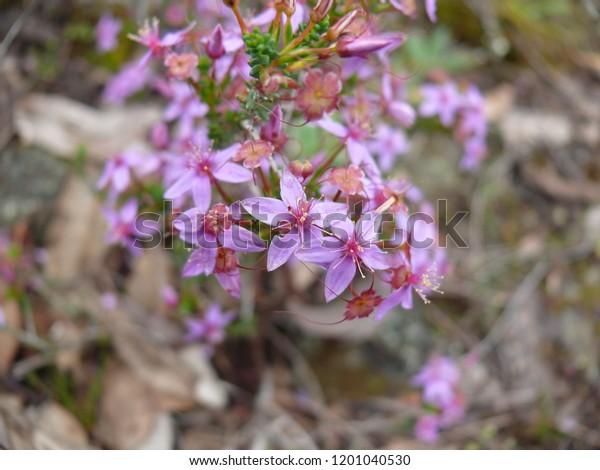 sticky starflower Calytrix glutinosa Stirling Range National Park