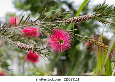 Stiff bottlebrush (Callistemon rigidus)