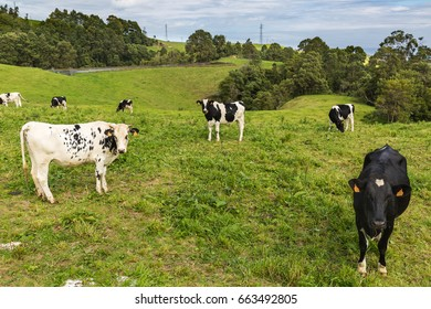 Still green pastures on the island of Sao Miguel. Sao Miguel is part of the Azores archipelago in the Atlantic Ocean.