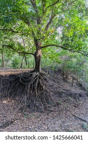 Still a green tree, but already devoid of soil under the roots due to soil erosion caused by human activity